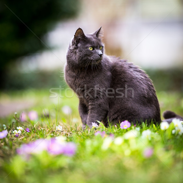 Cute kitty cat outdoors on a green lawn Stock photo © lightpoet