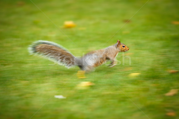 Eastern Grey Squirrel (Sciurus carolinensis) running fast  Stock photo © lightpoet