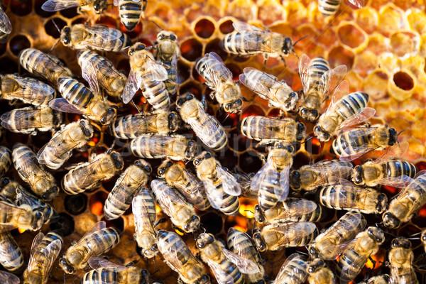 Stockfoto: Macro · shot · bijen · honingraat · tuin · frame