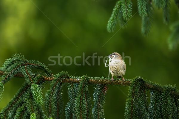 Casa pardal processo edifício ninho pássaro Foto stock © lightpoet