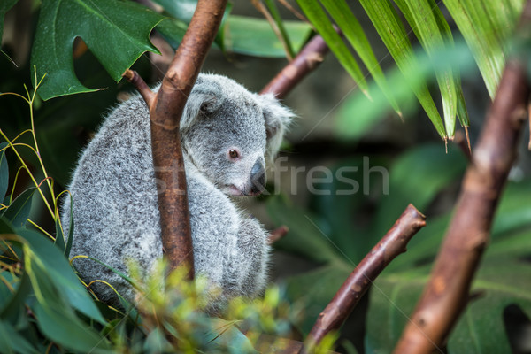 Koala on a tree with bush green background Stock photo © lightpoet