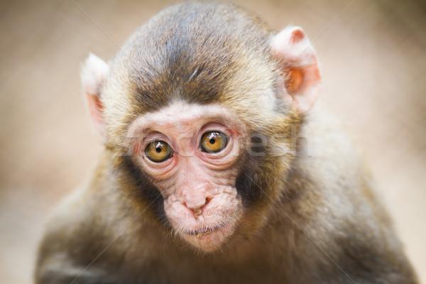 Closeup of a baby Japanese macaque (Macaca fuscata) Stock photo © lightpoet