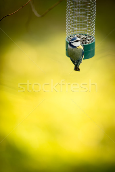 Tiny Blue tit on a feeder in a garden, hungry during winter Stock photo © lightpoet