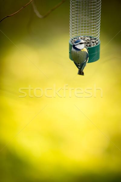 Küçücük mavi baştankara bahçe aç kış Stok fotoğraf © lightpoet