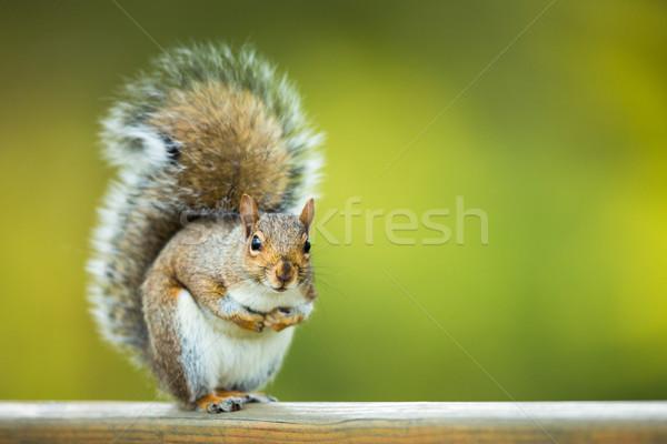 Keleti szürke mókus háttér kő ősz Stock fotó © lightpoet