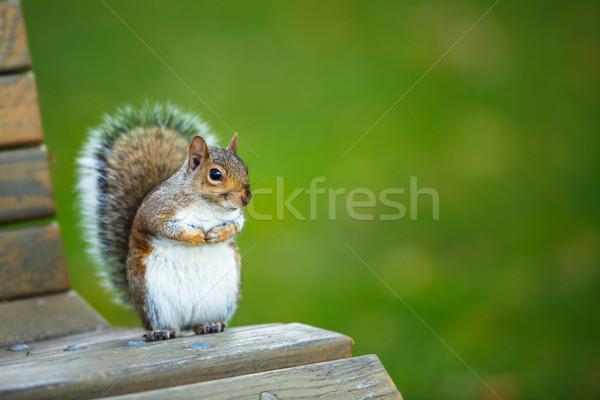 Oost grijs eekhoorn achtergrond bladeren steen Stockfoto © lightpoet