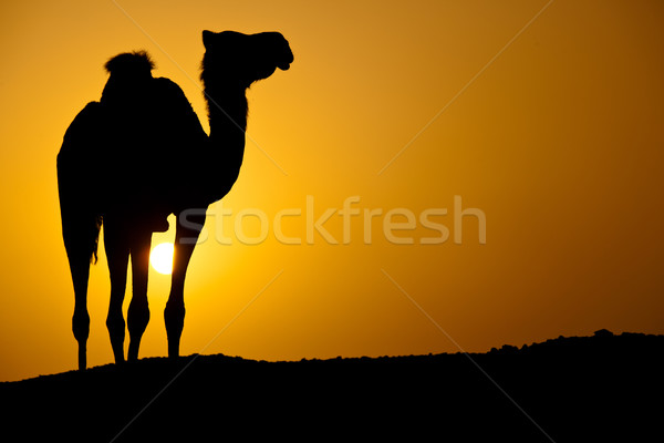 Sun going down in a hot desert: silhouette of a wild camel Stock photo © lightpoet