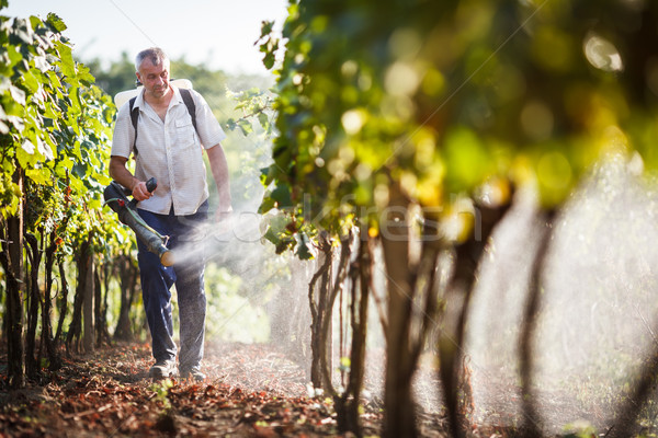 Vintner walking in his vineyard spraying chemicals on his vines Stock photo © lightpoet