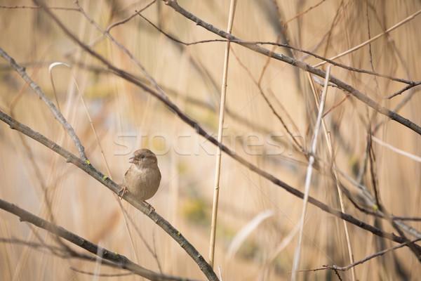 Ház veréb madár állat férfi ág Stock fotó © lightpoet