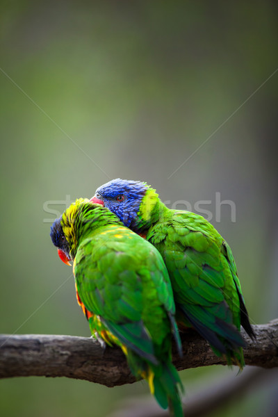 A pair of Rainbow Lorikeets fighting/playing/teasing each other  Stock photo © lightpoet