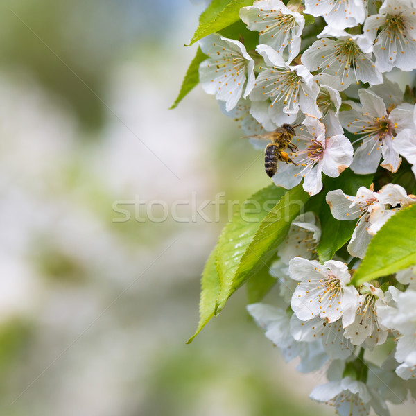 Honey bee in flight approaching blossoming cherry tree Stock photo © lightpoet