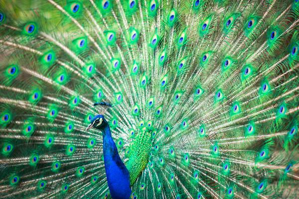 павлин из мелкий цвета Сток-фото © lightpoet