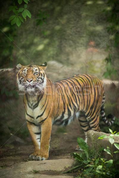 Stockfoto: Tijger · wonen · kat · natuur