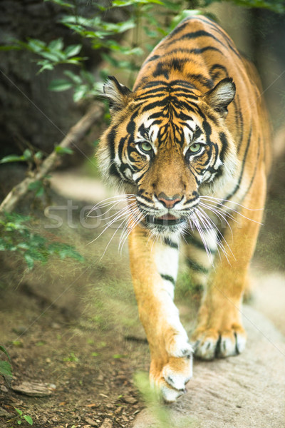 Closeup of a Siberian tiger also know as Amur tiger  Stock photo © lightpoet