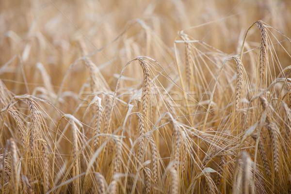 érett árpa mező meleg reggel napsütés Stock fotó © lightpoet