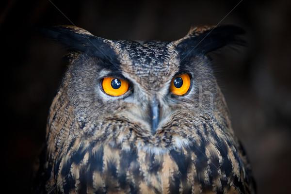 Pássaro noite retrato cabeça europa Foto stock © lightpoet