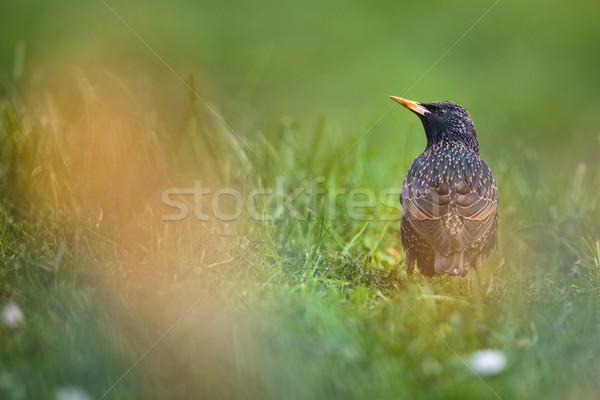 Common Starling (Sturnus vulgaris) Stock photo © lightpoet