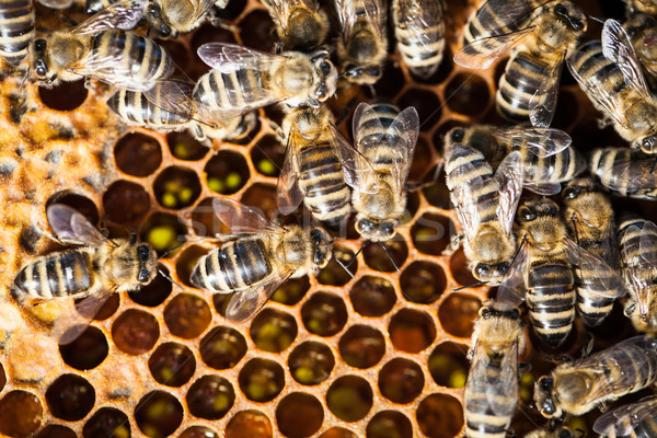 Macro shot of bees swarming on a honeycomb Stock photo © lightpoet