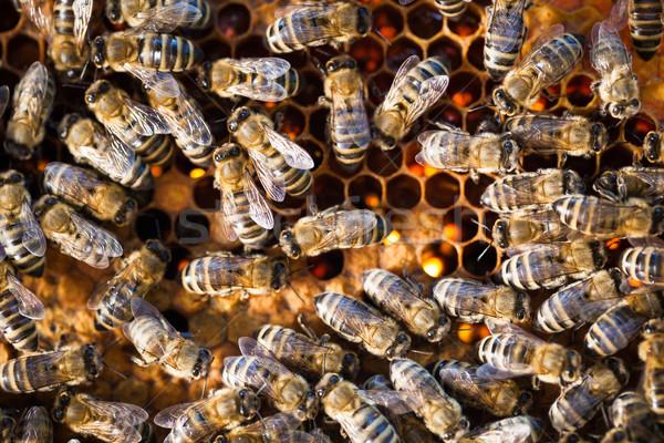 Macro tiro abelhas favo de mel jardim quadro Foto stock © lightpoet