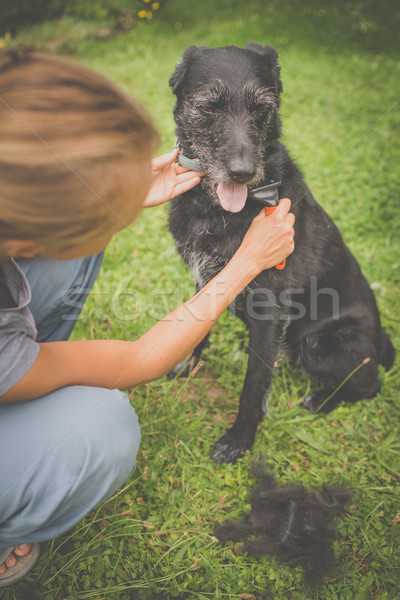 Combing out the fur of a black dog