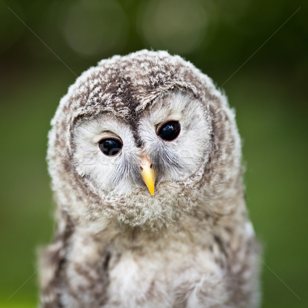 Close up of a baby Tawny Owl (Strix aluco) Stock photo © lightpoet