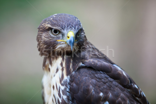 Close-up view of a majestic common buzzard  Stock photo © lightpoet