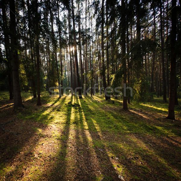 Orman ağaç çim gün batımı doğa manzara Stok fotoğraf © lightpoet