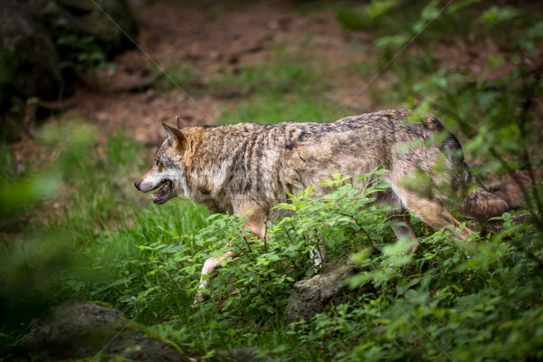 Stock photo: Gray/Eurasian wolf (Canis lupus)