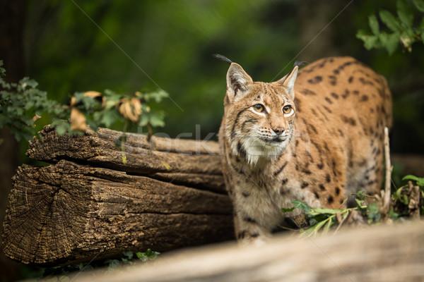 Eurasian Lynx (Lynx lynx) Stock photo © lightpoet