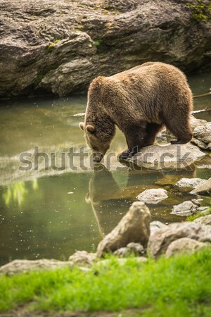 Brown bear considering taking a bath Stock photo © lightpoet