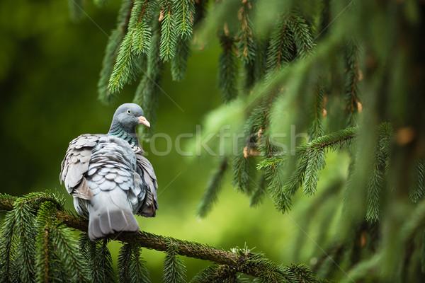 древесины голубь лес природы области зеленый Сток-фото © lightpoet