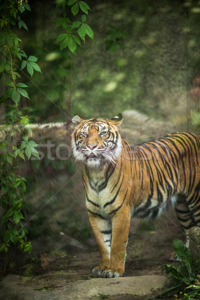 Közelkép tigris legnagyobb élet macska természet Stock fotó © lightpoet