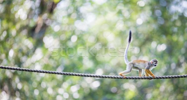 Stock photo: Common Squirrel Monkey (Saimiri sciureus; shallow DOF)