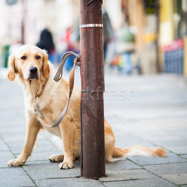Cute dog waiting patiently for his master on a city street Stock photo © lightpoet