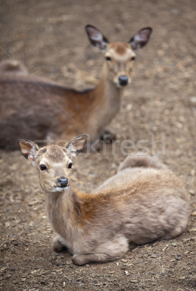 sika deer (lat. Cervus nippon)  Stock photo © lightpoet