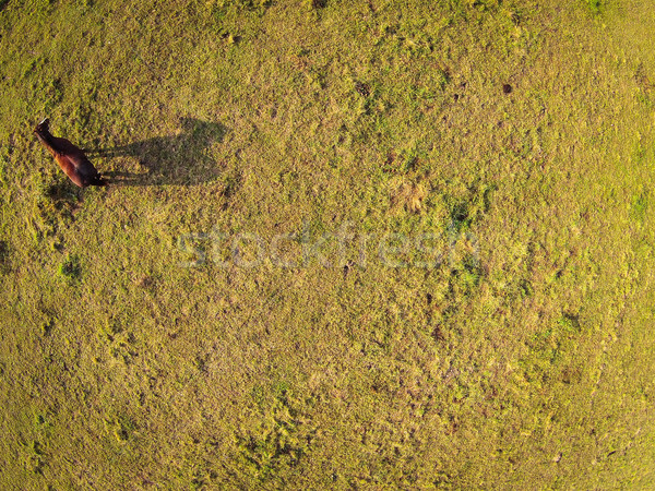 Aerial view over a pasture with a horse casting a shadow Stock photo © lightpoet