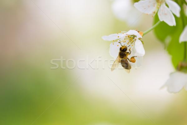 Háziméh élvezi virágzó cseresznye fa tavasz Stock fotó © lightpoet