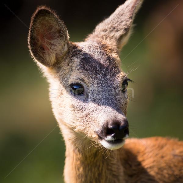 Young Roebuck (capreolus capreolus)  Stock photo © lightpoet
