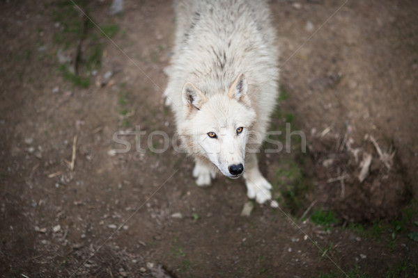 Stock photo: Arctic Wolf (Canis lupus arctos) aka Polar Wolf or White Wolf