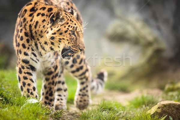 Amur Leopard (Panthera pardus orientalis) Stock photo © lightpoet