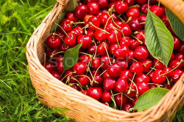 Freshly picked cherries in a basket in the garden Stock photo © lightpoet