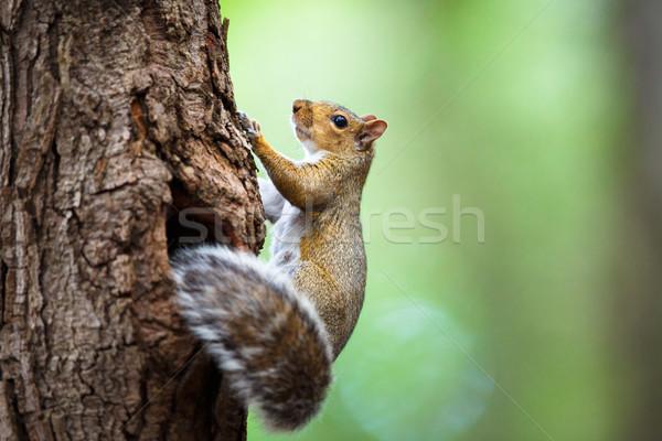 Eastern Grey Squirrel (Sciurus carolinensis) Stock photo © lightpoet