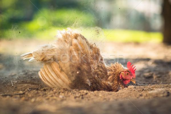Hen in a farmyard Stock photo © lightpoet