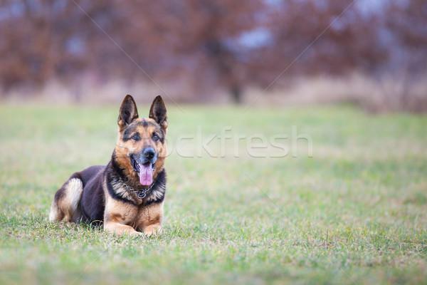 Pastore cane donna ragazza sfondo estate Foto d'archivio © lightpoet