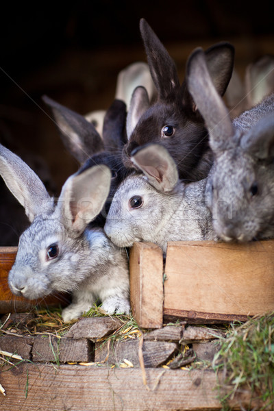 Young rabbits popping out of a hutch  Stock photo © lightpoet