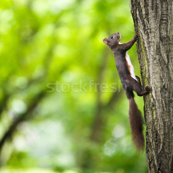 Stock photo: Closeup of a red squirrel (Sciurus vulgaris)