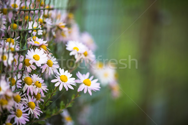 Lovely  daisyflowers with lush green background Stock photo © lightpoet