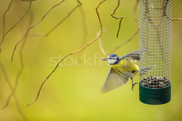 Tiny Blue tit flying away from a feeder in a garden Stock photo © lightpoet