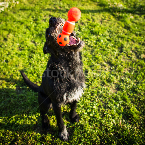 Cute dog playing, catching a toy Stock photo © lightpoet