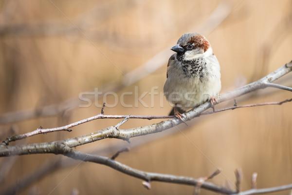 Casa pardal pássaro animal masculino ramo Foto stock © lightpoet